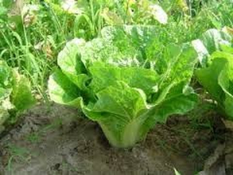 HOW TO GROW NAPA CABBAGE FROM SEEDS.