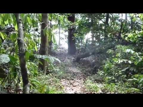 Puma en Parque Nacional Corcovado
