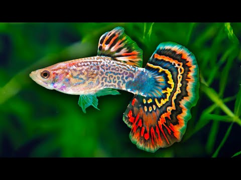 How to Care for Fancy Guppy Fish. Poecilia reticulata Million Fish. How to set up a guppy tank.