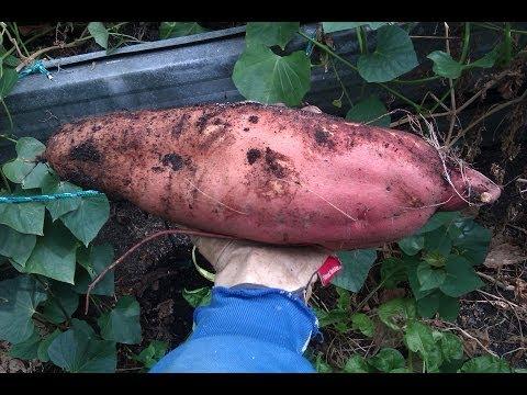 Grow Sweet Potato, from potato to Slips to plants to harvest