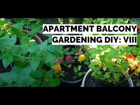 Apartment Balcony Gardening DIY VIII: 8 FOOT TOMATOES