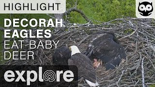 Bald Eagles Eat Baby Deer - Decorah Nest - Live Cam Highlight