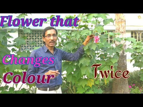 FLOWER THAT CHANGES COLOUR TWICE A DAY. A Short HIBISCUS Tour.