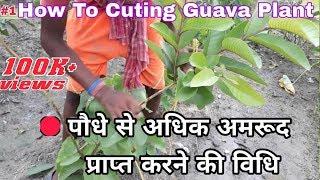 Taiwan pink guava clonal plants  9949614751,9494665252