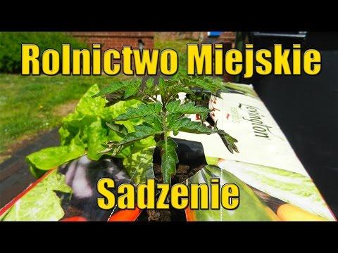 Rolnictwo Miejskie Ciąg Dalszy: Sadzenie Pomidory w workach