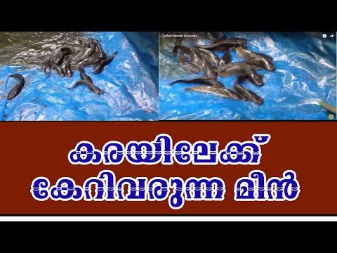 Catfish Moshi in Kerala