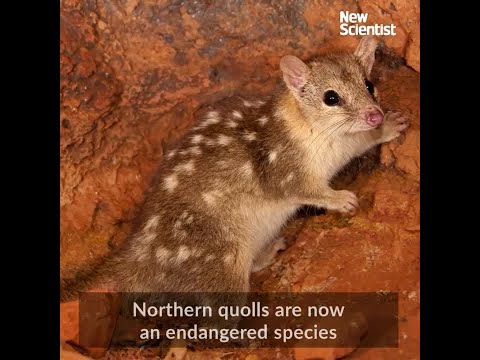 Quolls learn not to eat toads