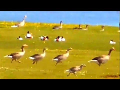 Running Greylag Geese