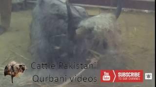 Yark Exclusive footage || Dadi house Yak 2017  || Eid Qurban