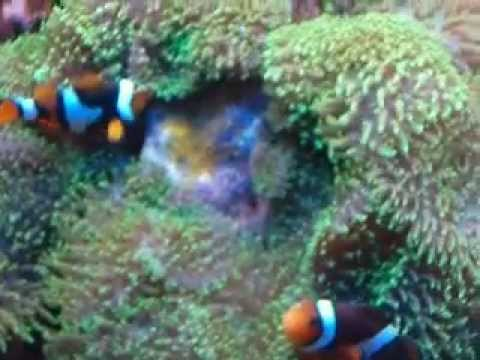 Clown fish guarding her eggs