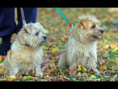 Norfolk Terrier  / Dog Breed