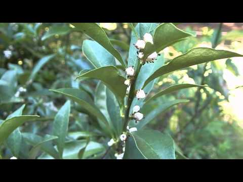 How to kill aphids without killing ladybugs