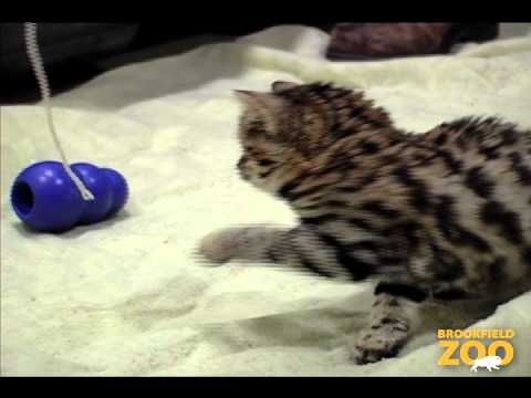 3-Month-Old Blackfooted Cat at Brookfield Zoo
