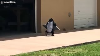 Monkey runs with pillow to give to best friend and zoopkeeper