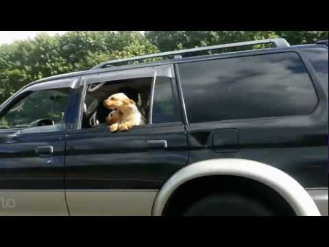 Cute Dog Loves The Wind In It's Hair When Riding In Car lol