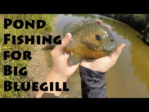 Pond Fishing for Big Bluegill