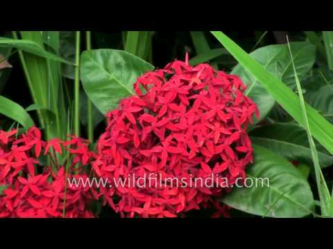 Ixora coccinea- A medicinal plant
