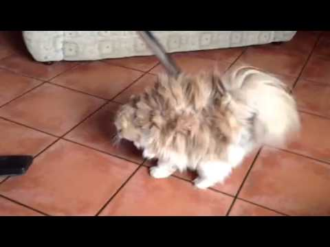 How to clean Mika my persian cat