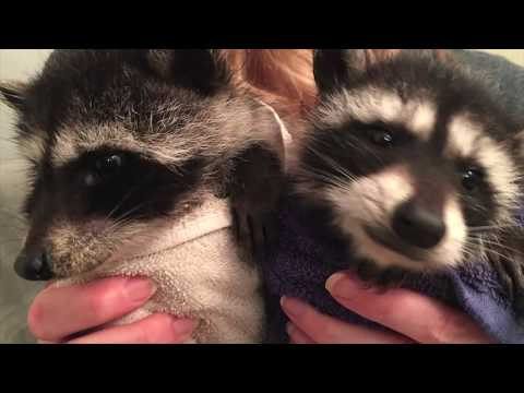Rescued Baby Raccoons / Bottle Feeding & Playing / Cute Animals Overload