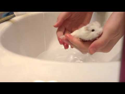 How to bathe a hamster