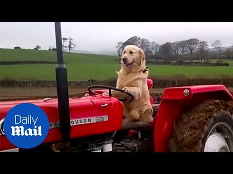Dog loves to drive tractors and help on farm - Daily Mail