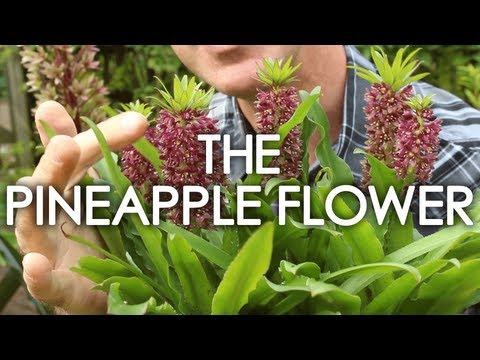 Flower Of The Month: August - The Pineapple Flower
