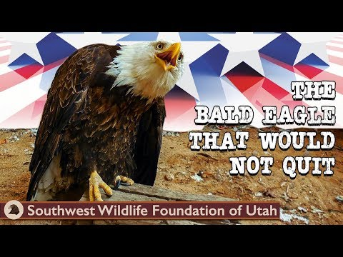 The Bald Eagle That Would Not Quit | Bald Eagle Rescue Short Film | Wildlife Documentary
