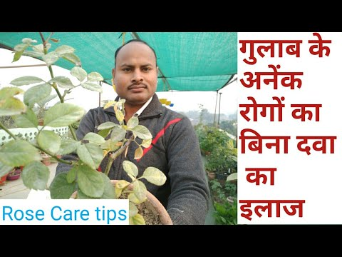 Rose diseases treatment without pesticide || supper trick for Rose care