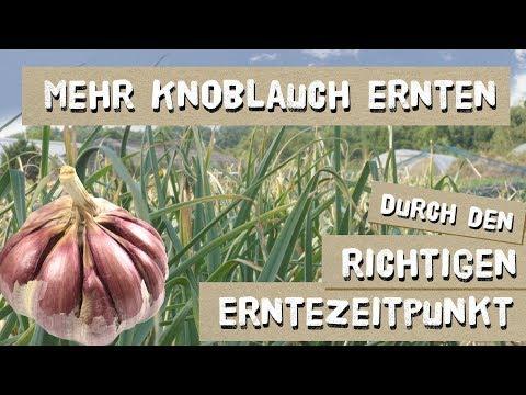 Wann erntet man Knoblauch? Kulturtipps und Sorten