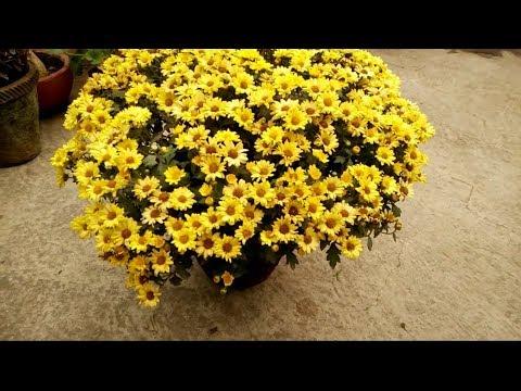 गुलदाउदी के पौधे से पाएं अनगिनत फूल || My five secrets to get more flowers from chrysanthemums