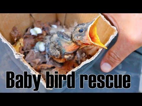 Baby bird rescue - fallen from nest
