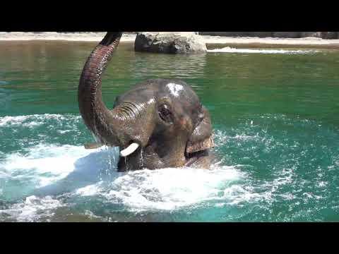 Asian elephant Samudra has a pool party