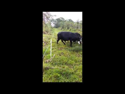 Electric Fence shocks cow on the tail