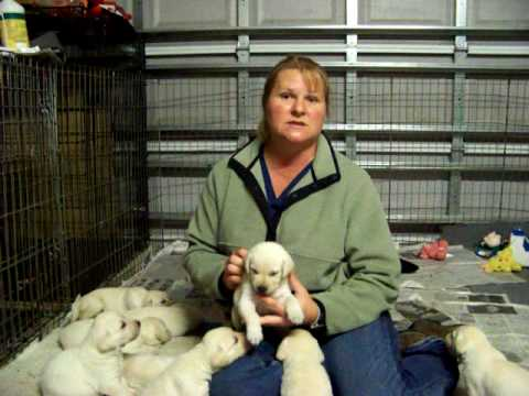Canine Progesterone Testing Dr Shannon Luznar