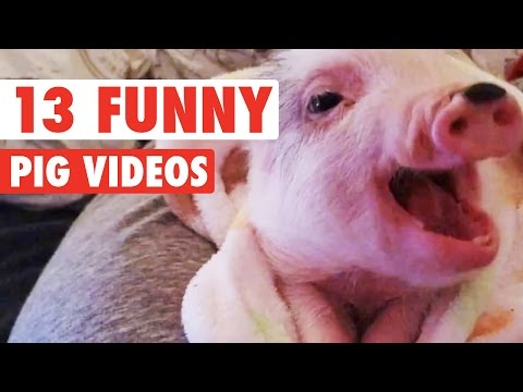 13 Funny Pig Videos || Awesome Compilation