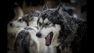 Yapay Seçilim ve İzolasyon Mekanizmaları: Köpeklerin Evrimi