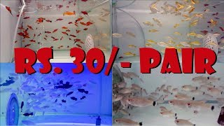 Low Cost Fish For Startup Aquarium Lover | Start From 30 Rs. Pair |