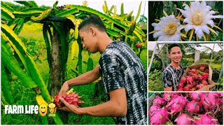 Harvesting Dragon fruit 🌵🌵😊
