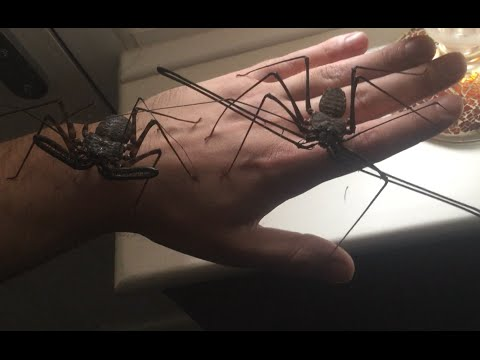 Unboxing Two Giant Tailless Whip Scorpions - Euphrynichus amanica - New Species