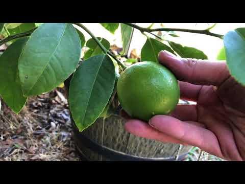 Dallas Texas citrus