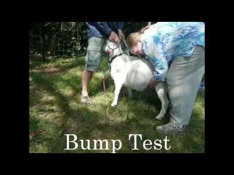 Bump test to check for a kid in a pregnant goat