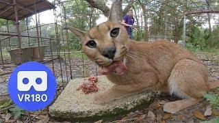Big Cat Feeding Time In VR180 3D!