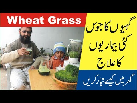 How to Grow Wheatgrass ● Wheatgrass Benefits ● Urdu kitchen garden