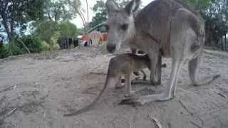 Kangaroo Joey Jumps Around His Mother in Australia