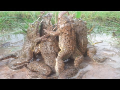 Amazing Frog Trap-How to catch big frogs-crazy frog-catching frog-khmer digging frog-Chasing frog