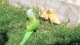 Parrot Greet Ducklings