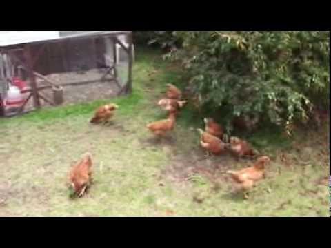 New project: Chickens for eggs