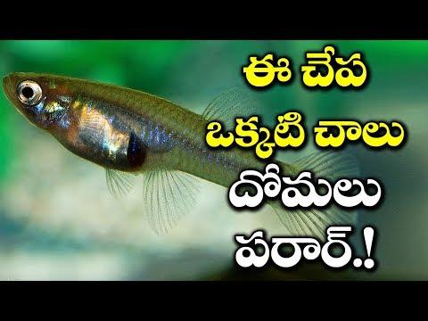 What? Get Rid Of Mosquitoes at Home With Gambusia Fish   ఈ చేప ఉంటె దోమలు మాయం   VTube Telugu