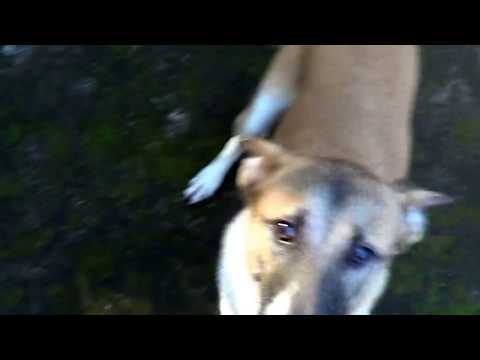 Excited dog running Around in circles - Tami# peeing outside