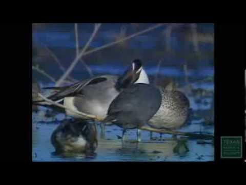 Calling All Pintails - Texas Parks and Wildlife [Official]